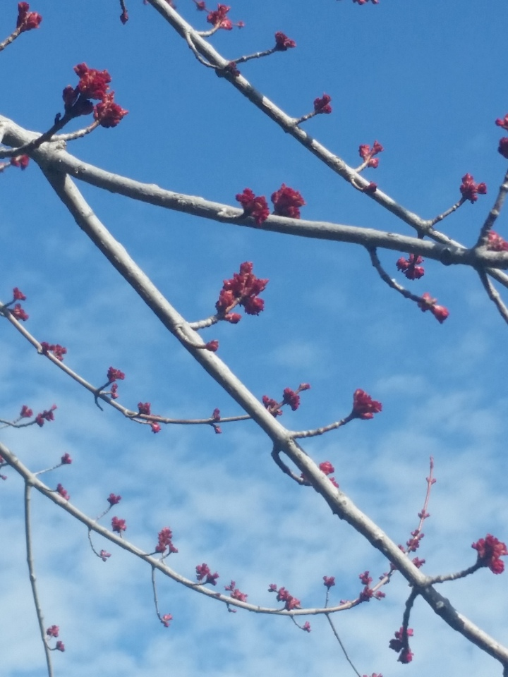 Maple Buds
